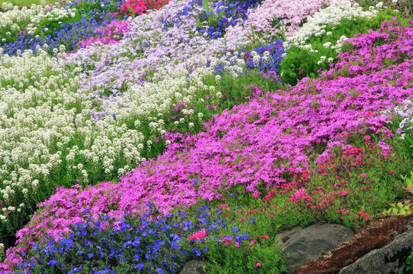USA, Oregon, Portland. Spring blooms of candytuft, sweet alyssum, Grace Ward and phlox flowers. Rights-managed stock photo