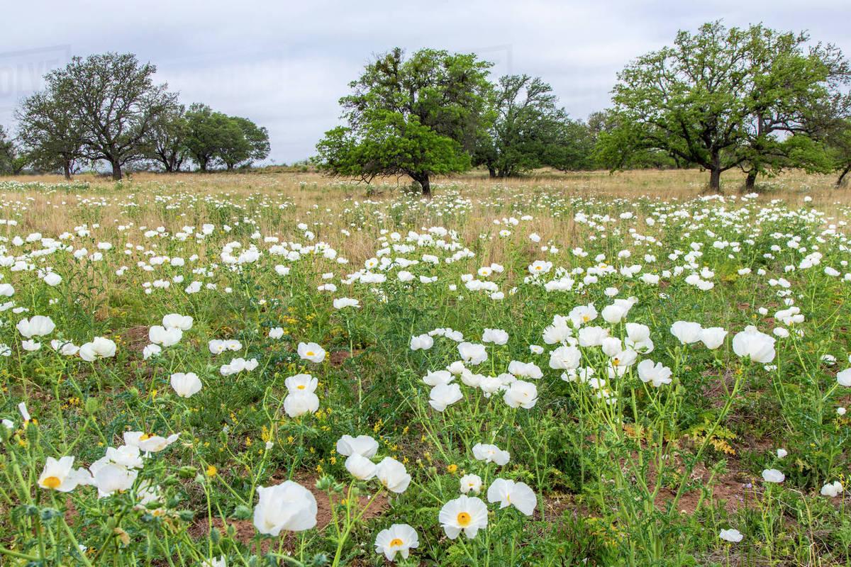 Field Of White Prickly Poppy Wildflowers Near Llano Texas Usa