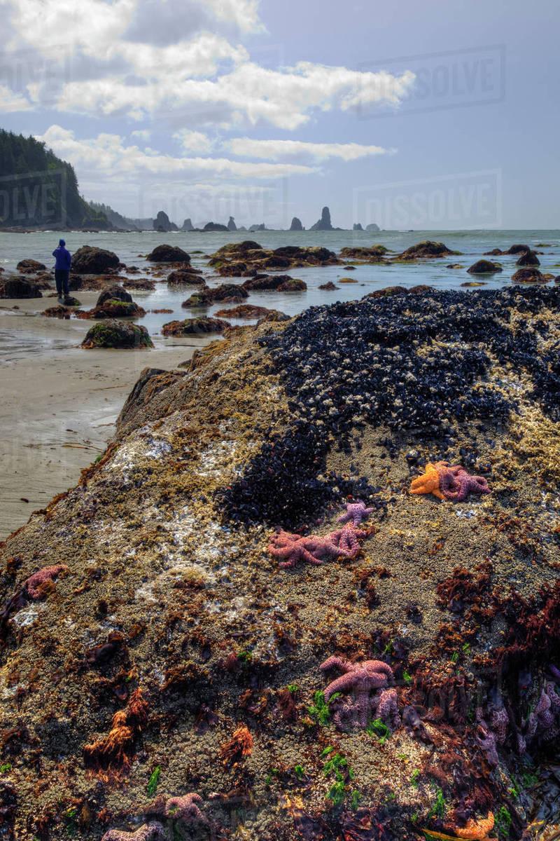 USA, Washington, Olympic National Park, Third Beach, Ochre sea stars on  rocks stock photo