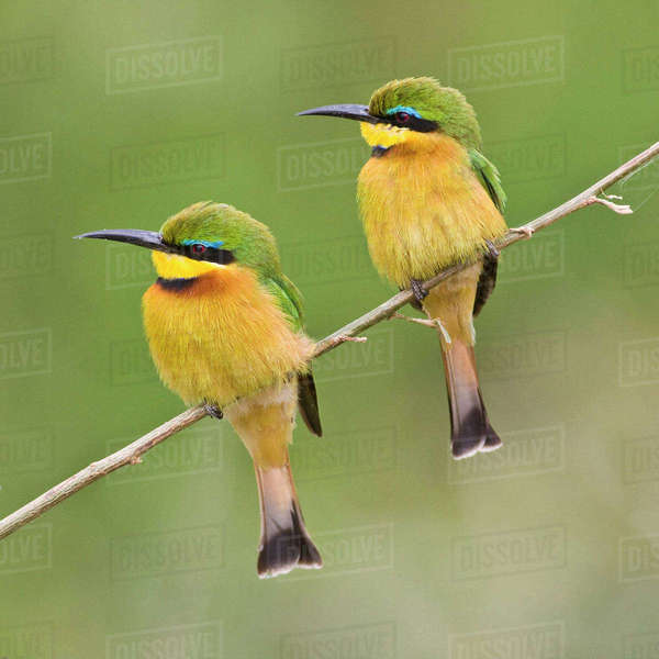 Africa. Tanzania. Little Bee Eaters at Manyara National Park. Rights-managed stock photo
