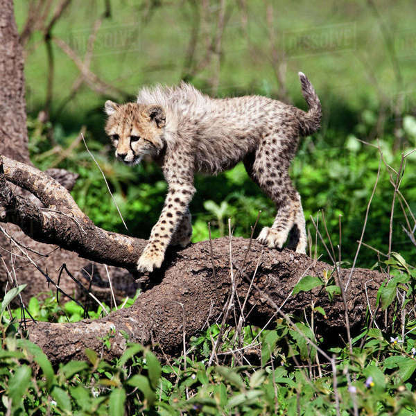 Africa. Tanzania. Cheetah cubs playing at Ndutu in the Ngorongoro Conservation Area. Rights-managed stock photo