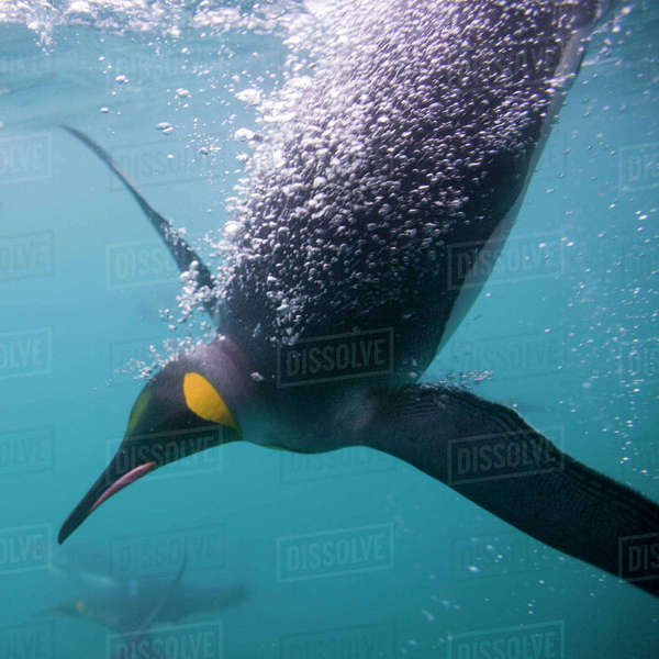 Antarctica, South Georgia Island (UK), Underwater view of King Penguins (Aptenodytes patagonicus) swimming in Right Whale Bay Rights-managed stock photo