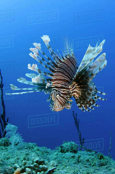 Red Lionfish (Pterois volitans) Jardines de la Reina National Park, Cuba, Caribbean Rights-managed stock photo