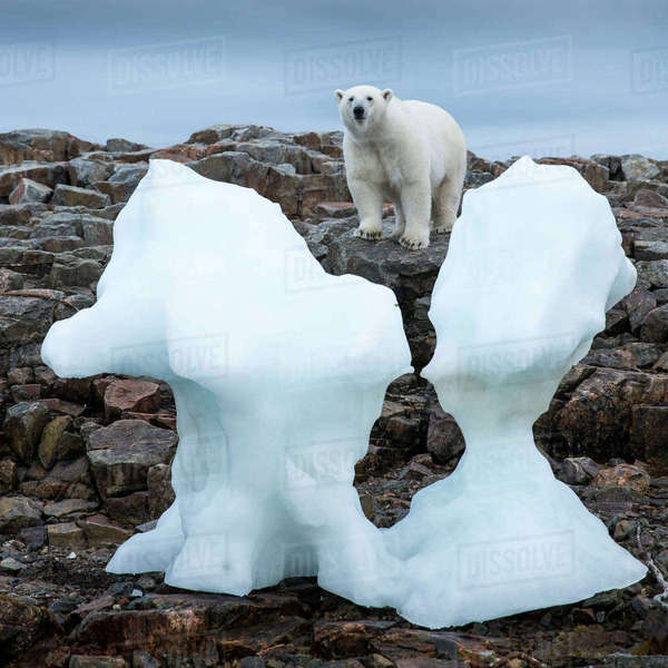 Canada, Nunavut Territory, Repulse Bay, Polar Bear (Ursus maritimus) standing by iceberg along shoreline of Harbor Islands near Arctic Circle along Hudson Bay Rights-managed stock photo