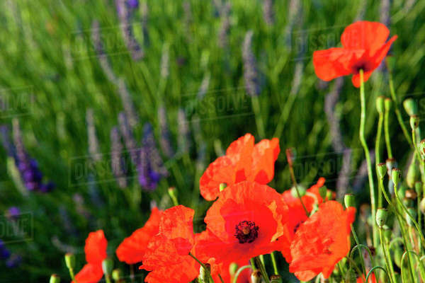 Poppies growing in the middle of a field of lavender along the Valensole Plateau, Provence, France. Rights-managed stock photo