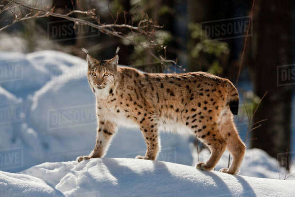 Portrait of Eurasian Lynx (Lynx lynx) walking in deep snow, subspecies carpathica, in winter and snow, captive. Germany, Bavaria, National Park Bayerischer Wald. Rights-managed stock photo