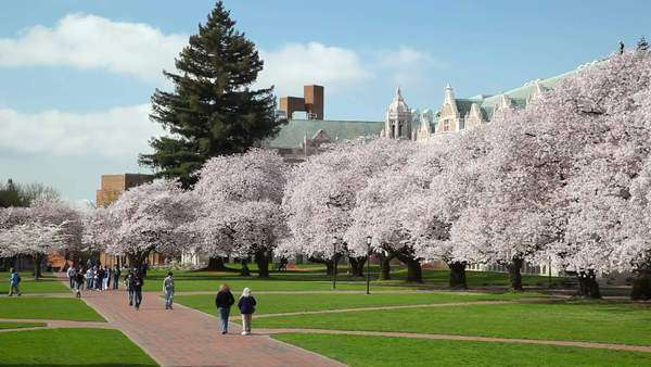 WA, Seattle, The Quad, Japanese Cherry trees in bloom, at the University of Washington Rights-managed stock video