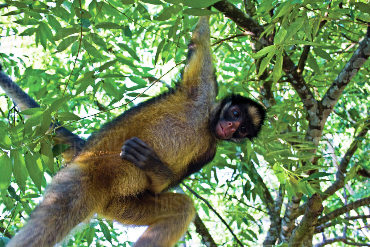 Amazon Rainforest A Brown Capuchin Monkey Swings From Branch To