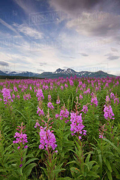 USA, Alaska, Katmai National Park, Fireweed (Epilobium angusCR2olium) in meadow along Hallo Bay Rights-managed stock photo