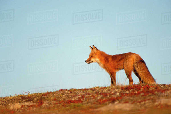Red fox, Vulpes vulpes, along the central North Slope of the Brooks Range, Arctic Alaska Rights-managed stock photo