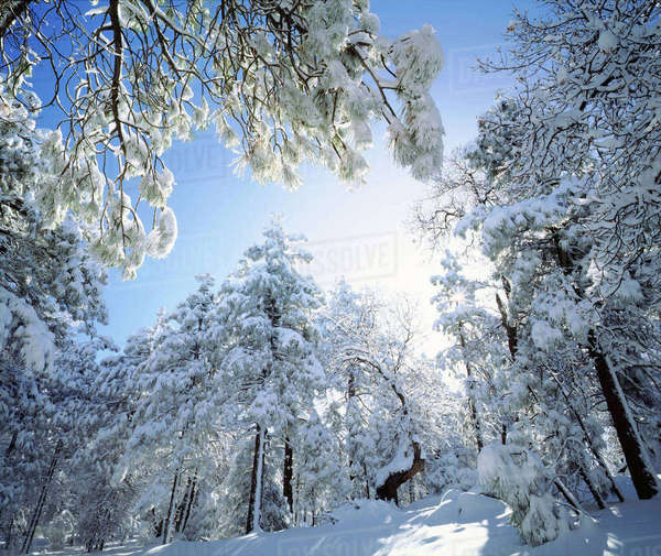 USA, California, Cleveland National Forest, Laguna Mountains, Freshly snow-covered trees in bright sunlight. Rights-managed stock photo