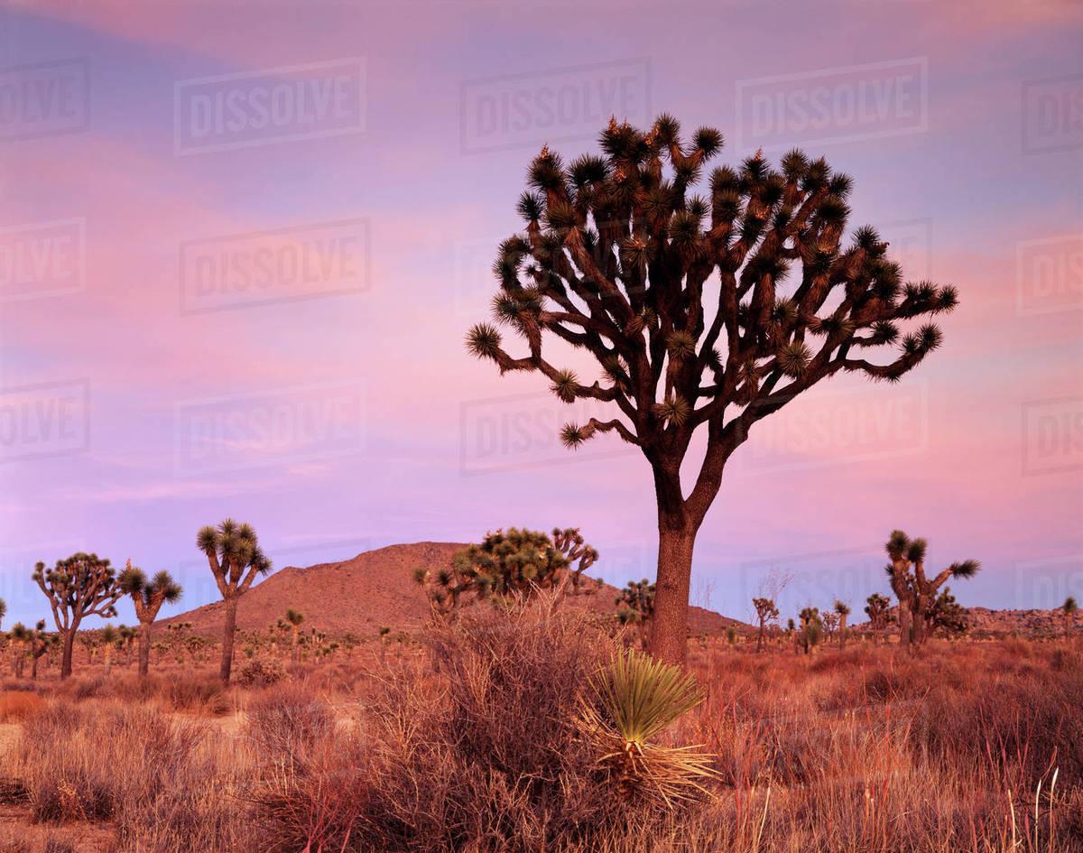California Joshua Tree National Park A Joshua Tree Yucca