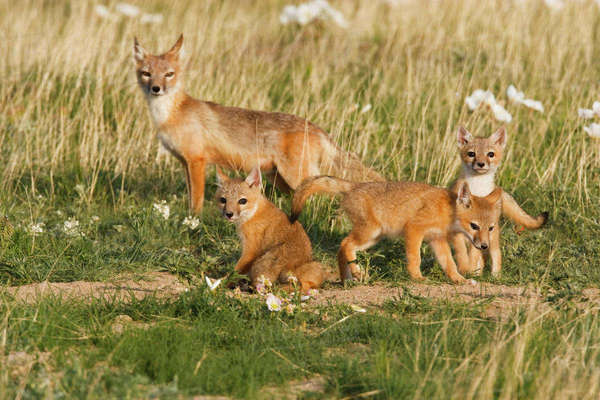 Swift Fox (Vulpes velox) female with young at den on the Pawnee National Grasslands, Colorado, USA Rights-managed stock photo