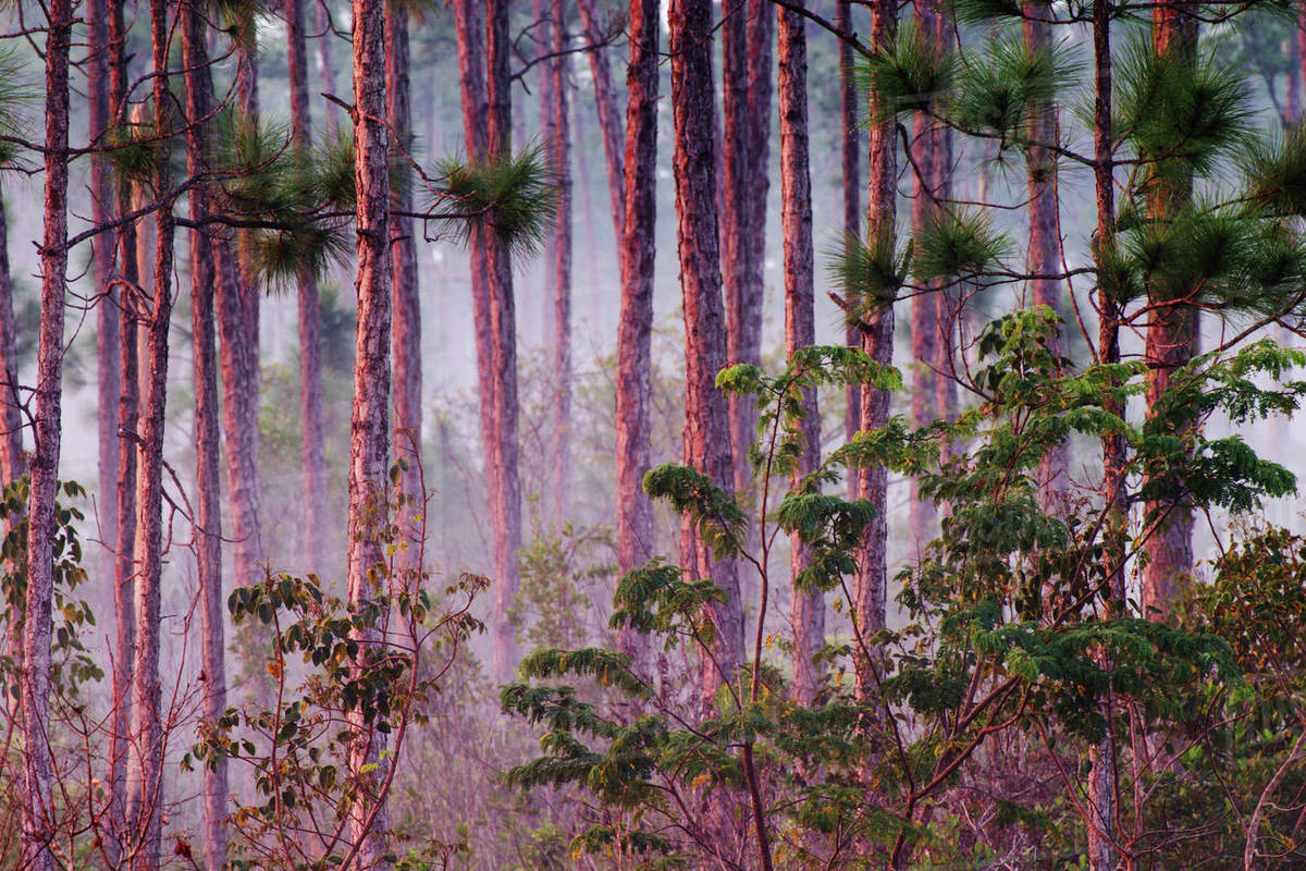 Mist among pine trees everglades national park florida stock mist among pine trees everglades national park florida mightylinksfo