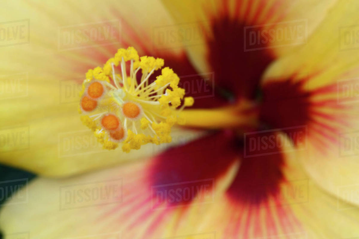 Yellow And Red Hibiscus Flower Petal Pistil And Stamen Detail