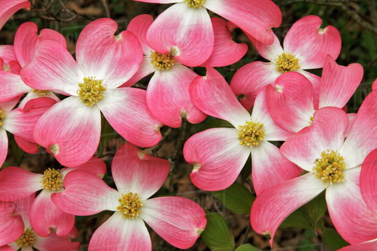 Pink Dogwood Tree Blossoms In Spring Louisville Kentucky Usa