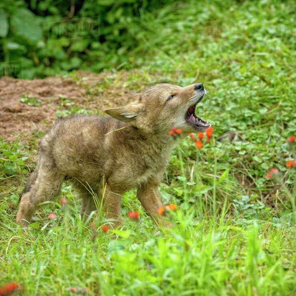 USA, Minnesota, Sandstone, Minnesota Wildlife Connection. Coyote pup howling. Rights-managed stock photo