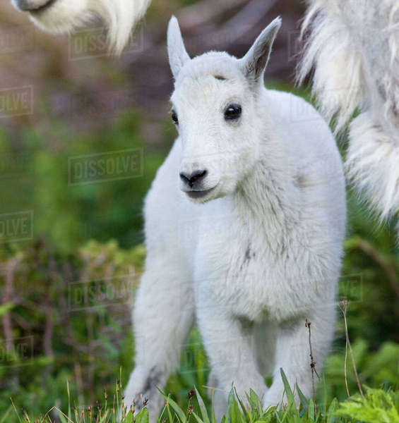 Mountain goat nanny with kid at Logan Pass in Glacier National Park in Montana Rights-managed stock photo