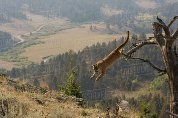 Puma, aka Mountain Lion or cougar, Puma concolor, Captive wildlife model, WYO USA in tree Rights-managed stock photo