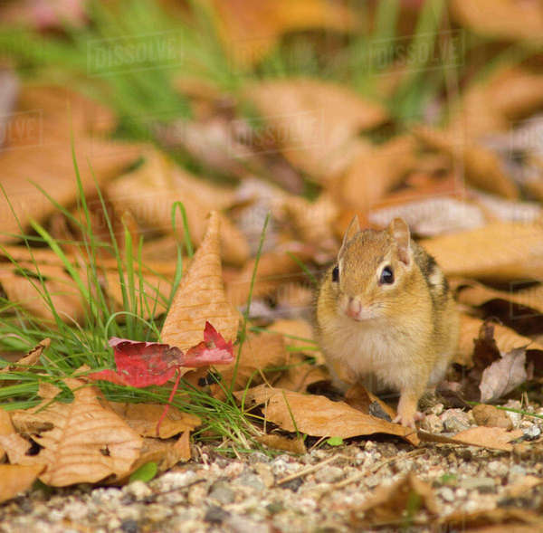 United States; New Hampshire; Lincoln; Franconia Notch State Park, ground level view of chipmunk surrounded by leaves Rights-managed stock photo