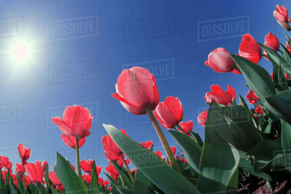Red tulips from very low angle, Cincinnati, Ohio Rights-managed stock photo