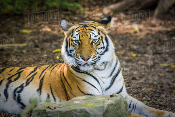 Bengal Tiger (Panthera tigris tigris) at the Nashville Zoo, Nashville, Tennessee, USA. Rights-managed stock photo
