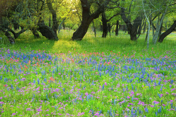 Evening light coming through oak trees onto field of Texas Blue Bonnets and Phlox, Near Devine Texas. Rights-managed stock photo