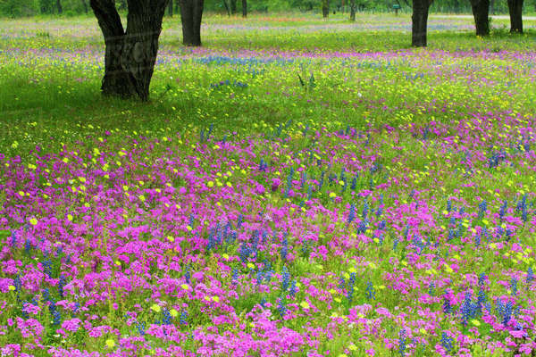 Oak Trees with field of Phlox, Blue Bonnets springtime near Devine Texas. Rights-managed stock photo