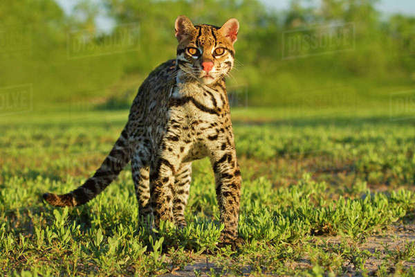 Ocelot (Felis pardalis) endangered species, captive animal. Rights-managed stock photo