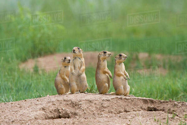 USA, Utah, Bryce Canyon National Park. Close-up of endangered Utah prairie dogs outside their den. Rights-managed stock photo