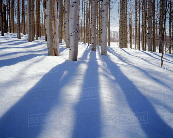 USA, Utah, Dixie National Forest, Aspens in winter Rights-managed stock photo