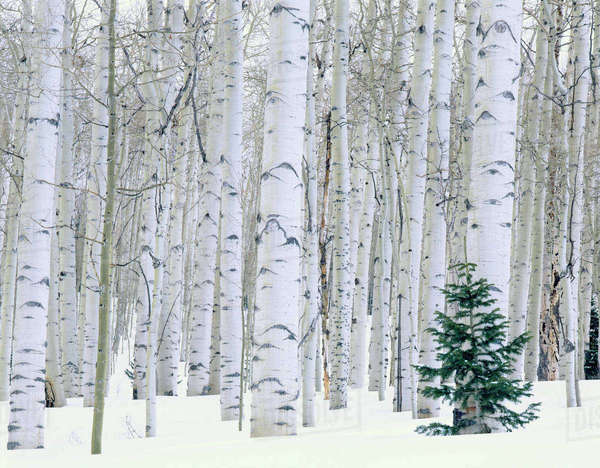 UTAH. USA. Aspen (Populus tremuloides) & Douglas fir (Pseudotsuga menziesii) in winter. La Sal Mountains. Manti-LaSal National Forest. Rights-managed stock photo