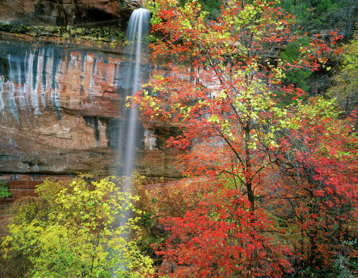 Waterfall Bigtooth Maple Acer Grandidentatum Canyon Wild Grape
