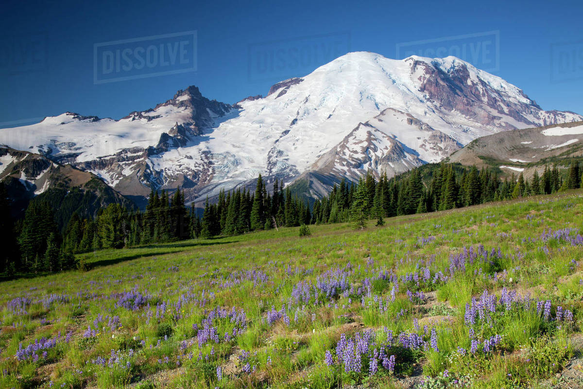 WA, Mount Rainier National Park, Mount Rainier and Little Tahoma, with wildflower meadow and Steamboat Prow formation, view from Sunrise area Rights-managed stock photo