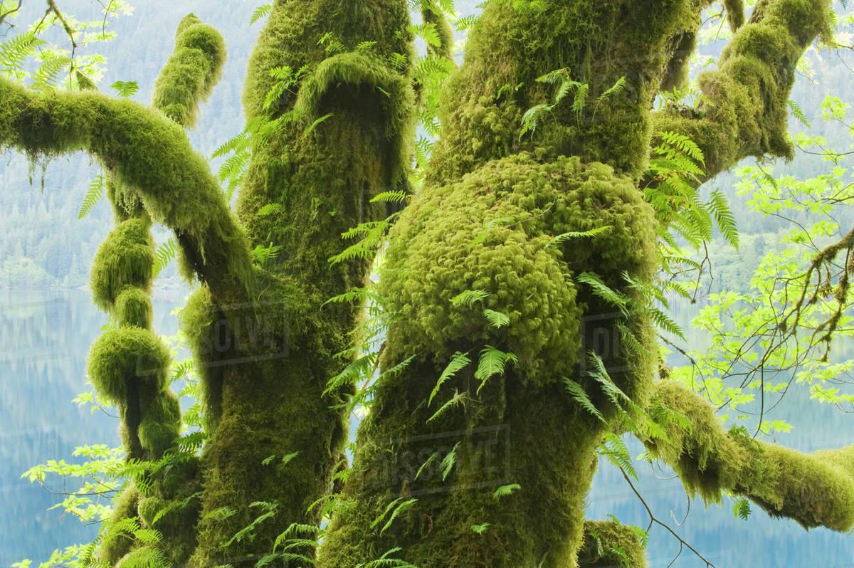 Usa Washington Lake Crescent Olympic National Park Bigleaf Maple