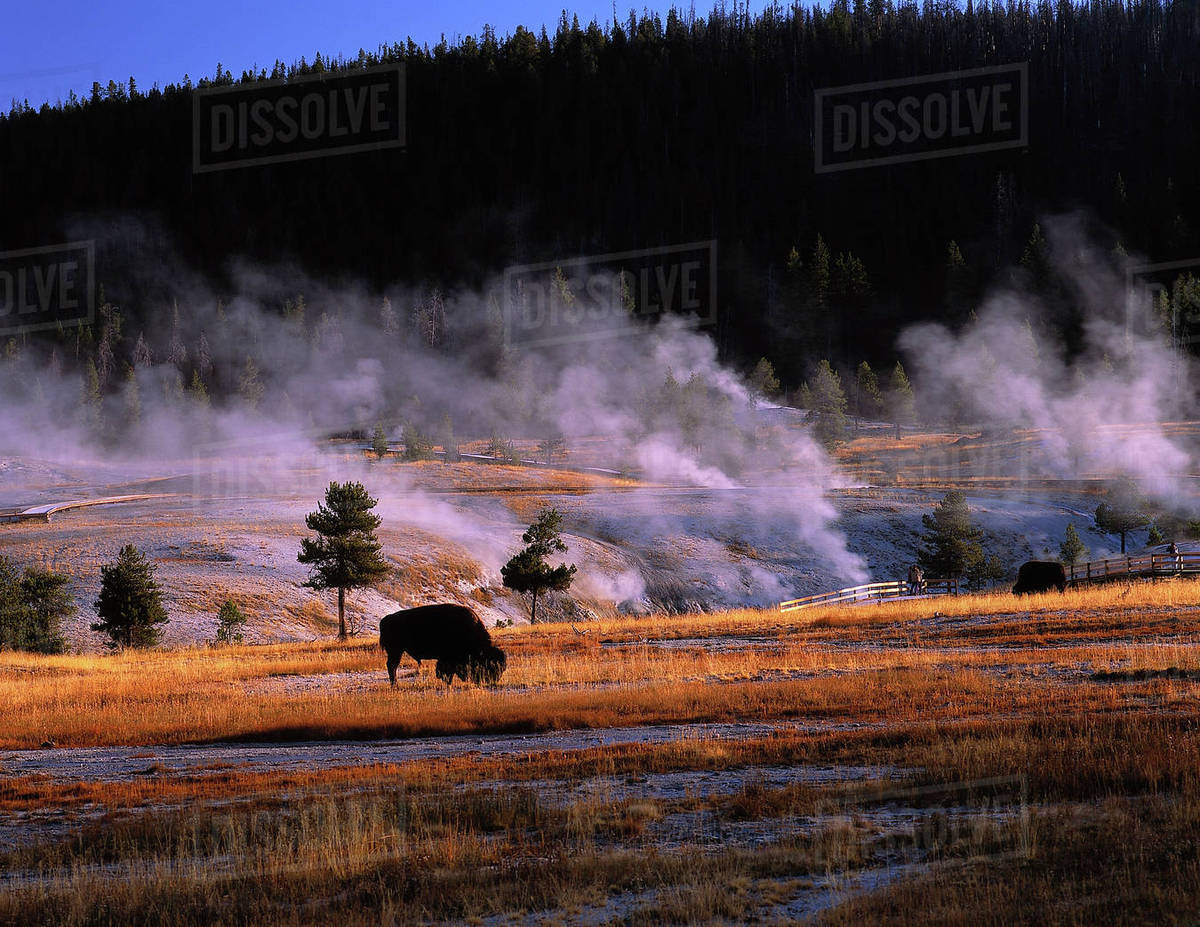 Bison Grazing In The Upper Geyser Basin Near Old Faithful D256 60 964