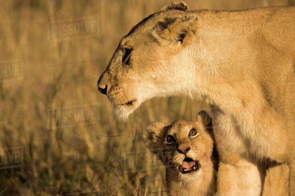 Baby lion cub looking up at mother for attention in the Maasai Mara Kenya. Royalty-free stock photo