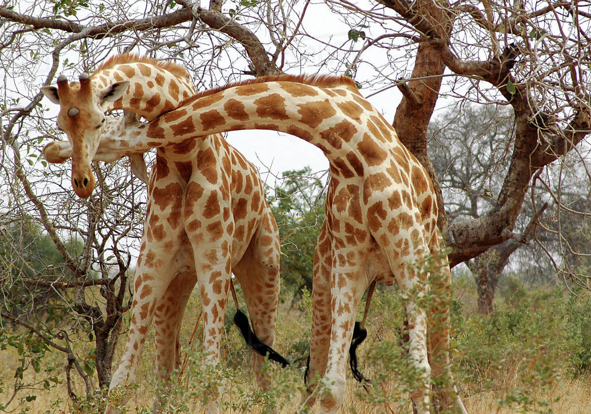 Image result for west african giraffe