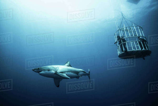 Great shark investigating cage divers, Guadalupe Island, Mexico Royalty-free stock photo