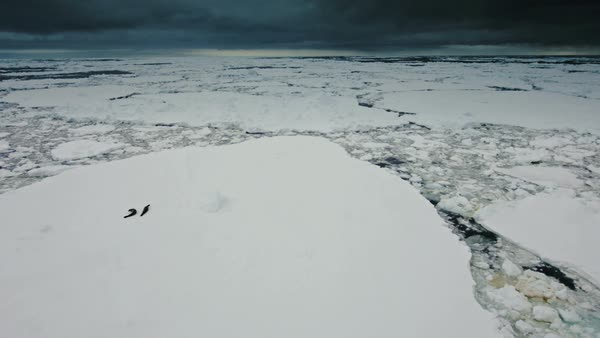Landscape with ice floes and two seals walking on ice sheet Royalty-free stock video
