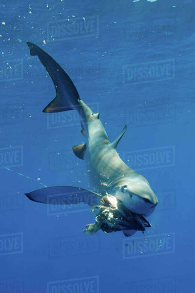 Blue shark eating underwater Royalty-free stock photo
