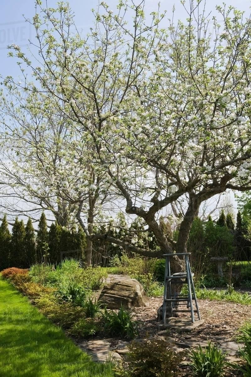 Wooden Stepladder Beneath A White Flowering Apple Tree Malus
