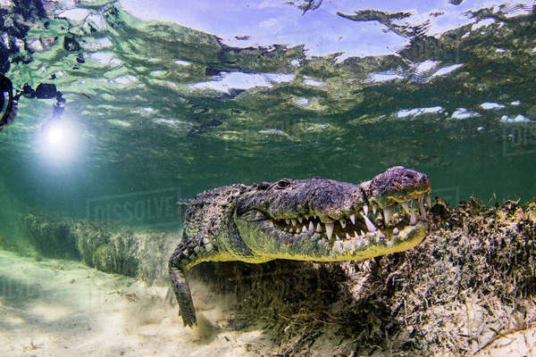 Underwater view of crocodile on seabed, Chinchorro Banks, Mexico Royalty-free stock photo