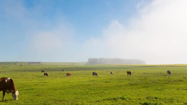 WS DS Cows Grazing In Field / Starnberg, Bavaria, Germany Royalty-free stock video
