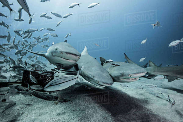 Lemon sharks and school of fish by sea floor Royalty-free stock photo