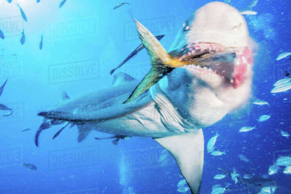 Lemon shark eating tuna tail Royalty-free stock photo