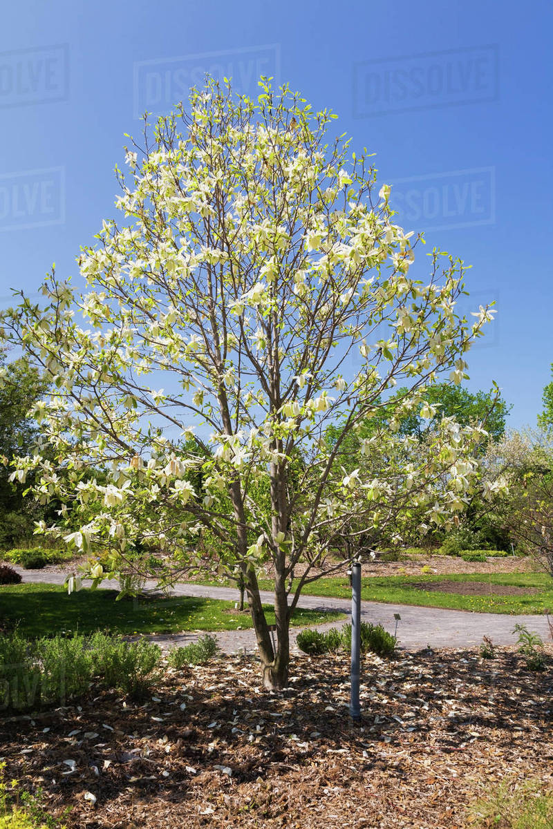 Yellow Flowering Magnolia Banana Split Tree In Spring Stock