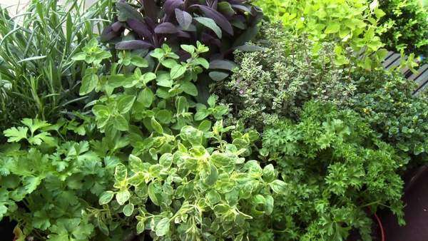 Hand picking fresh herbs in herb garden Rights-managed stock video