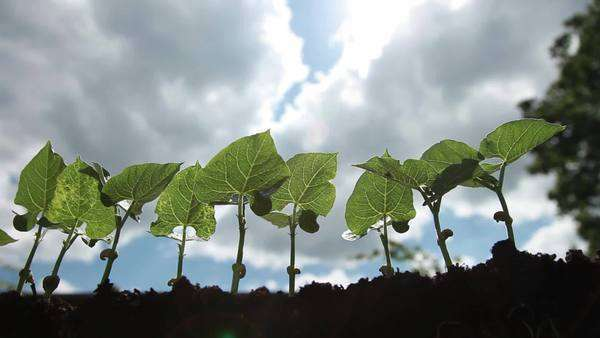 Bean plants Rights-managed stock video