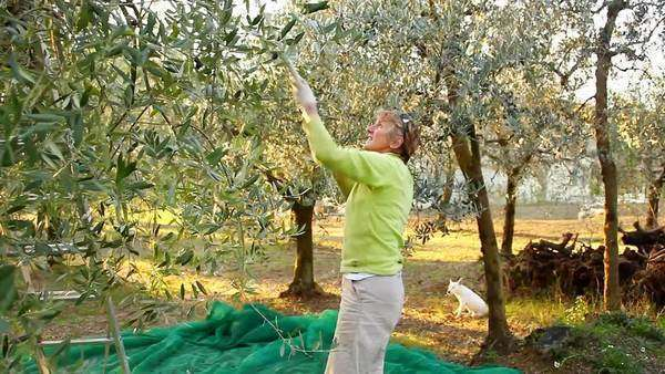 A woman harvesting olives, Umbria, Italy Rights-managed stock video